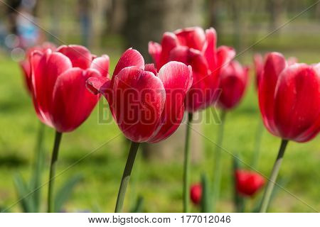 Beautiful Carmine with white border tulips (lat. Tulipa) flower bed in the spring garden