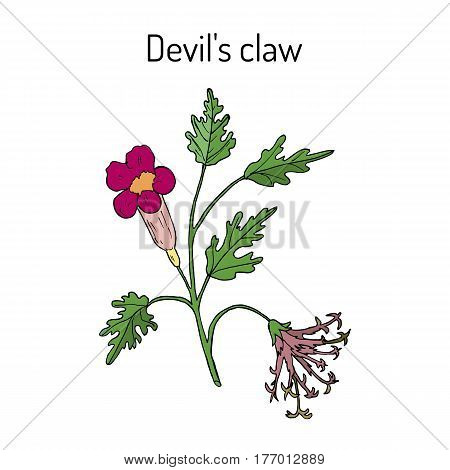 Devil s Claw Harpagophytum procumbens or grapple plant wood spider. Hand drawn botanical vector illustration poster