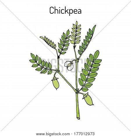 Chickpea Cicer arietinum or bengal gram garbanzo bean egyptian pea. Hand drawn botanical vector illustration
