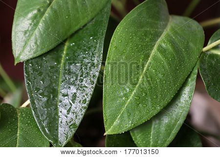 House plant / Leaves of a houseplant