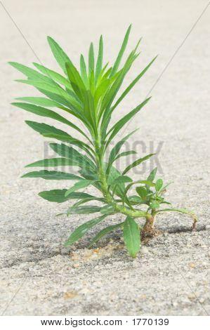 Uma erva daninha indesejáveis