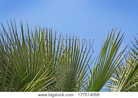Green sunlit palm leaf detail in Palma de Mallorca Balearic islands Spain.