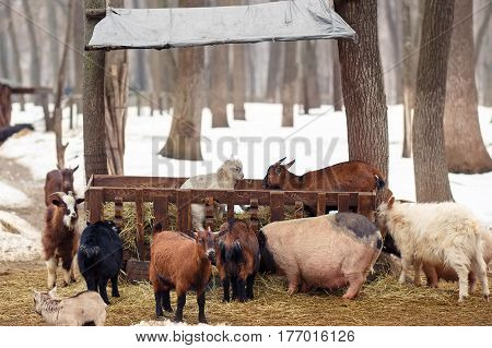 goats and pigs at farm in winter