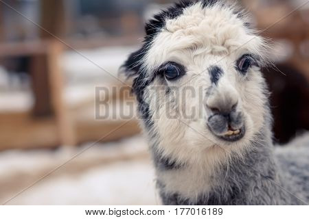 very surprised face of funny grey alpaca