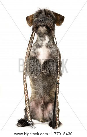An Adorable Mixed Breed Dog Holding A Leash In Her Mouth