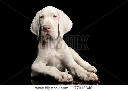 Studio Shot Of A Cute Great Dane Puppy