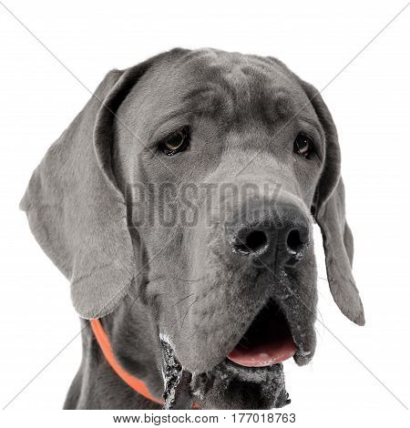 Portrait Of An Adorable Great Dane