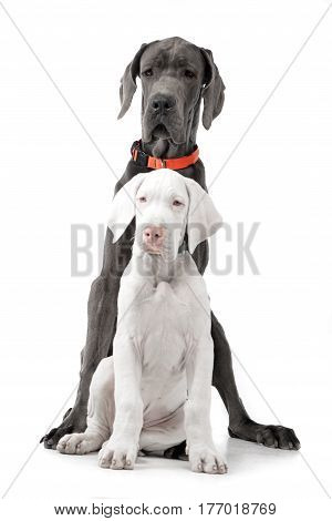 Studio Shot Of Two Adorable Great Dane