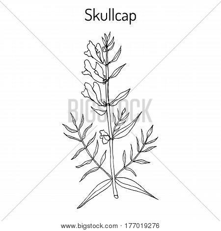 Baikal skullcap scutellaria baicalensis - medicinal plant. Hand drawn botanical vector illustration