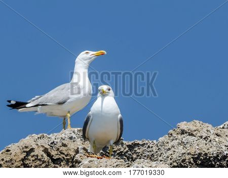 Mediterranean white gulls with yellow beaks sitting on top of a cliff on blue sky background