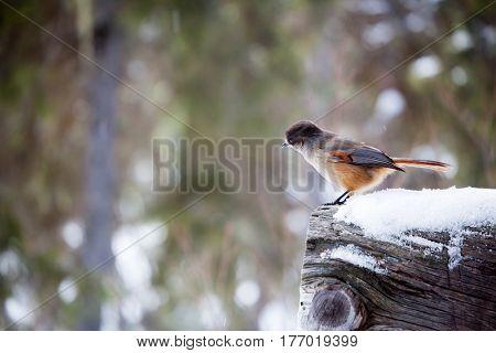 Siberian Jay looking around in winter