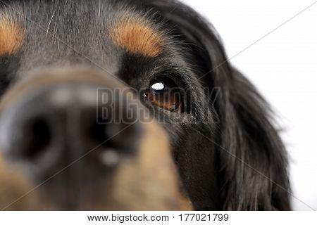 Portrait Of An Adorable English Cocker Spaniel