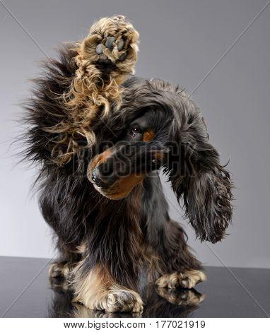 An Adorable English Cocker Spaniel Scratching Her Leg
