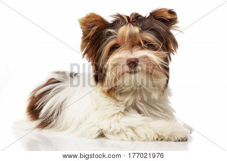Studio Shot Of A Cute Biewer Yorkshire Terrier Puppy