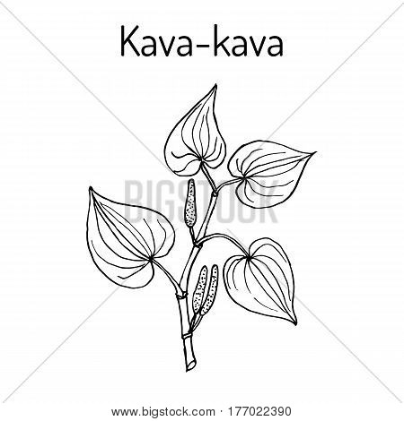 Kava-kava piper methysticum medicinal plant. Hand drawn botanical vector illustration