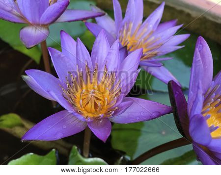 beautiful waterlily or lotus flower is complimented by the rich colors of the deep blue water surface. Saturated colors and vibrant detail make this an almost surreal image.