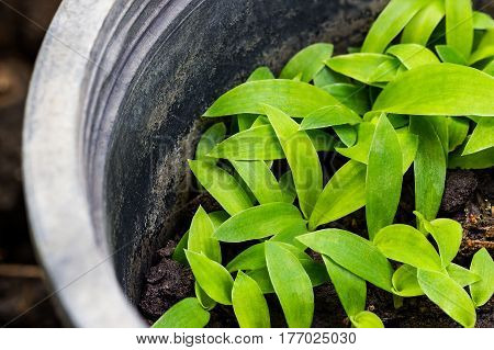 Small green plant are growing in the black plastic pot