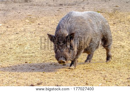 Mammal Pet Pig In A Black Enclosure