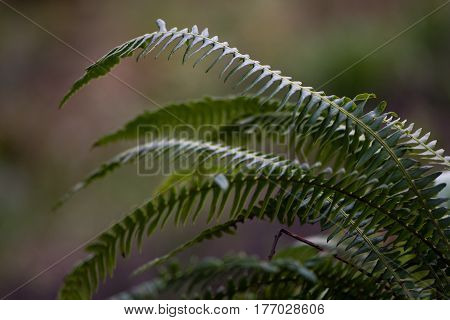 Hard-fern (Blechnum spicant) sterile fronds. Fern in the family Blechnaceae growing in moist woodland at Oyster's Coppice nature reserve in Wiltshire UK