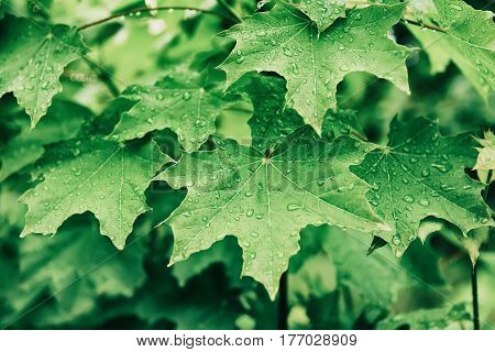 Abstract spring seasonal background from green wet maple leaves with water drops. Eco natural concept