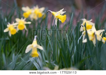 Flowering wild daffodils (Narcissus pseudonarcissus pseudonarcissus). Native daffodil aka lent lily in flower in Oyster's Coppice woodland in Wiltshire UK