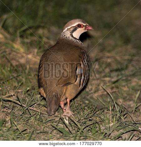 Red-legged partridge (Alectoris rufa) from behind. Gamebird in the pheasant family Phasianidae aka French partridge on grassland in UK