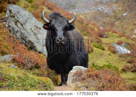 Black yak standing on the track in the himalayan mountains Nepal