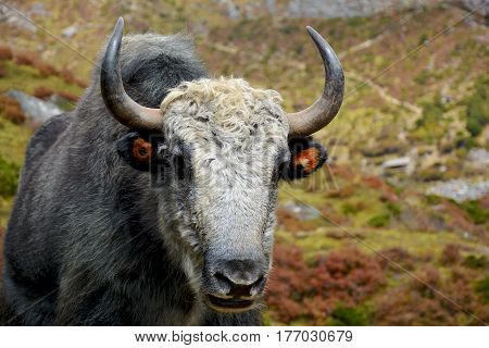 Closeup view of the tibetian yak in the mountains