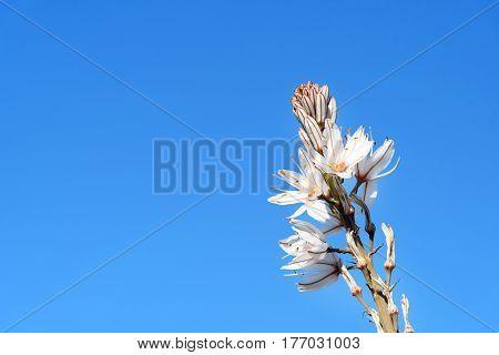 White Asphodel Flowers. Asphodelus Albus