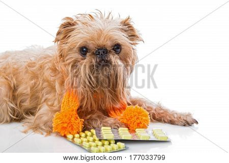Dog breed Brussels Griffon in a warm scarf and tablets.