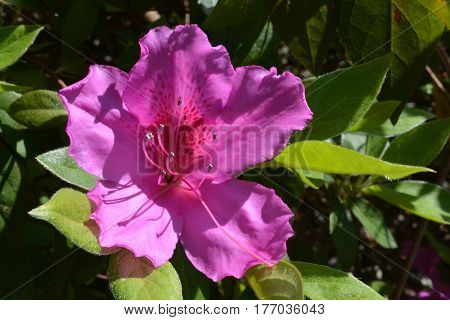 purple azalea in full bloom during the spring of the year.
