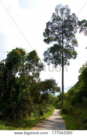 A tall straight and slender exotic tree grows near the road. Phuket.