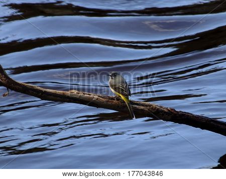 Grey wagtail perched on branch above water