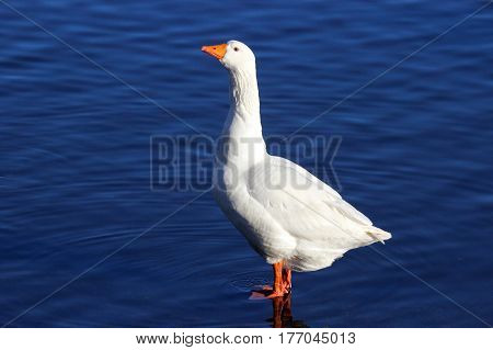 One white goose standing by a pond in winter