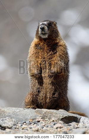 Marmots live at high altitude in the Rocky Mountains.