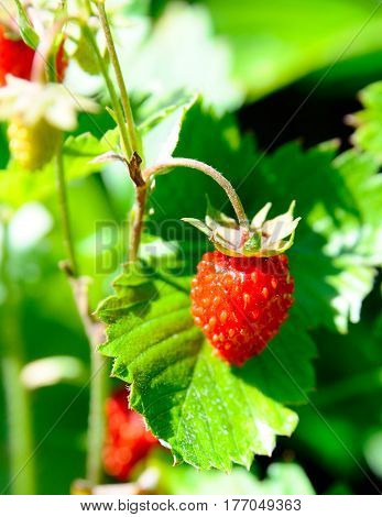 The ripe red wild strawberry close up