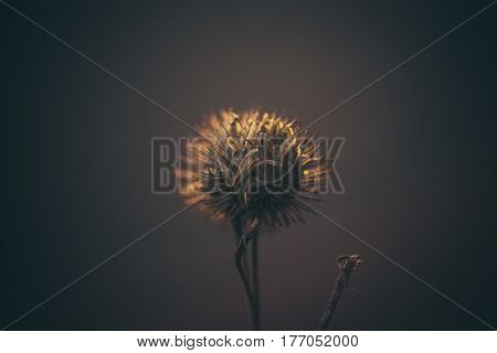 Golden prickly wild burdock, in the evening on a meadow