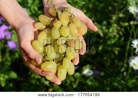 Harvesting grapes. Farmer holding in hands fresh white grapes for making wine. Harvesting grapes by hand.