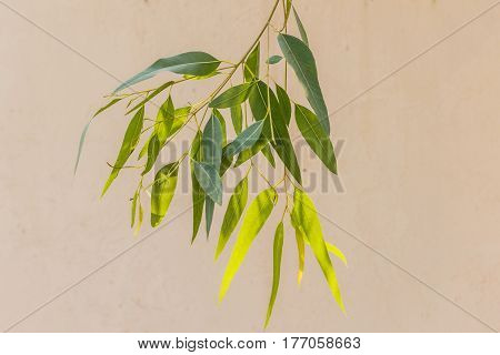 close-up of long slim eucalyptus tree leaves (leaf)