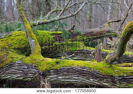 Wind broken old oak trees broken lying inside natural deciduous stand, Bialowieza Forest, Poland, Europe