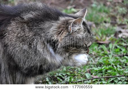 Norwegian cat washes her face after meal, Fluffy cat licking herself