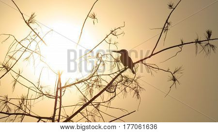 A silhouette of an Indian kingfisher sitting on the tree at sunset time.