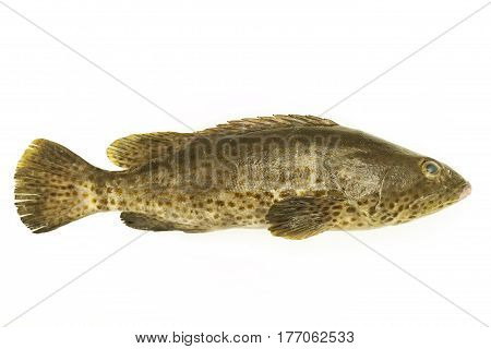 Grouper fish isolate on white background .