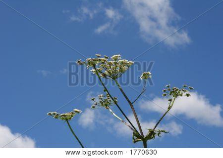 Hogweed Plant Against Blue Sky