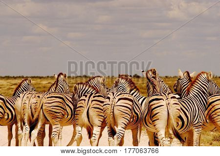 zebras in th savanna of South Africa