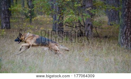 German shepherd dog running in the autumn forest, telephoto