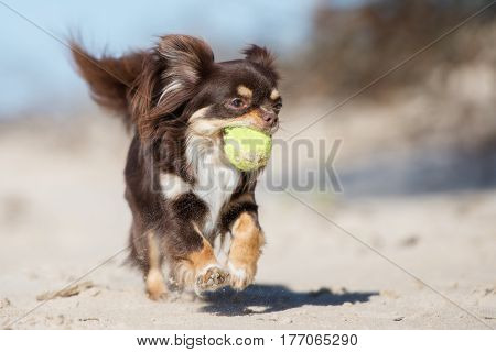 adorable brown chihuahua dog running on a beach