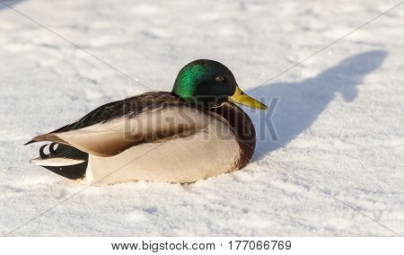 Portrait of a duck on snow close up