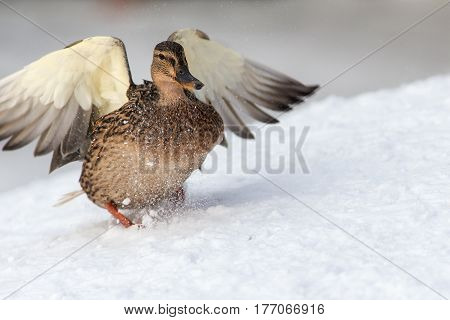 Portrait of a duck landing on the snow