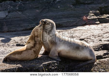 Sea lions cuddles on island in Beagle channel (Argentina)